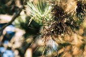Fotografie Pine tree branch
