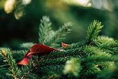 Fotografie borové větve