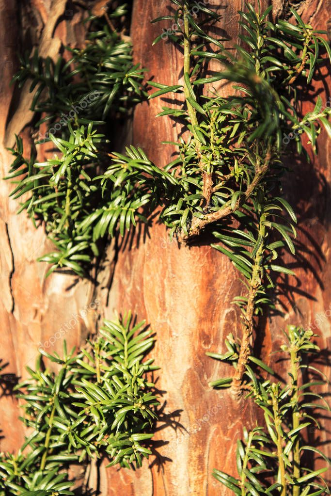 bark with green branches