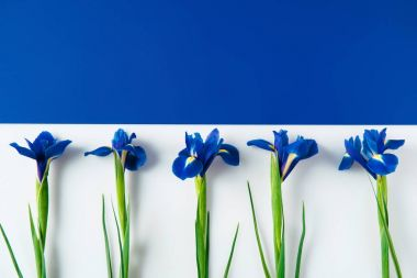 flat lay composition of iris flowers on halved blue and white surface