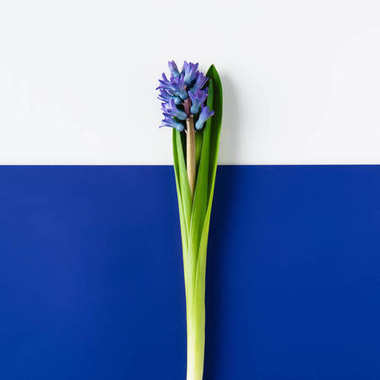 top view of beautiful hyacinth flowers on halved blue and white surface