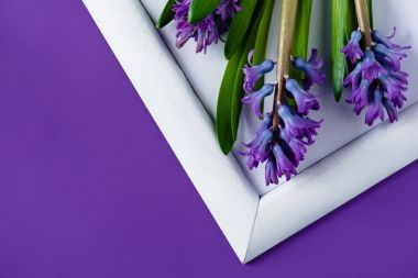 top view of hyacinth flowers on white frame on purple surface