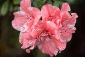 Fotografie Detailní pohled krásné čerstvé kvetoucí růžové květy