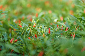 selective focus of red chili pepper near green leaves