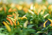selective focus of yellow and orange chili pepper near green leaves