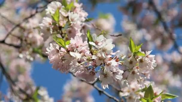 lebegett a cseresznyevirág ág