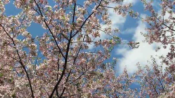 DC Třešňové květy zamračená obloha