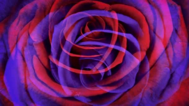 Vörös-lila Rózsa