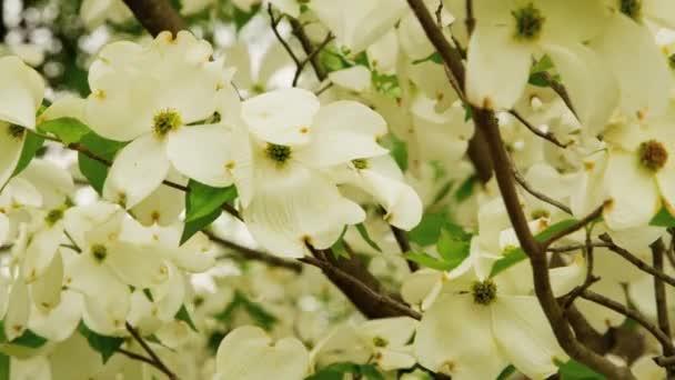 weiße Blumen auf Baum im Wind — Stockvideo © castonico #155709328