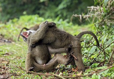Olive Baboons Fighting