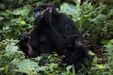 Mountain Gorillas Feeding