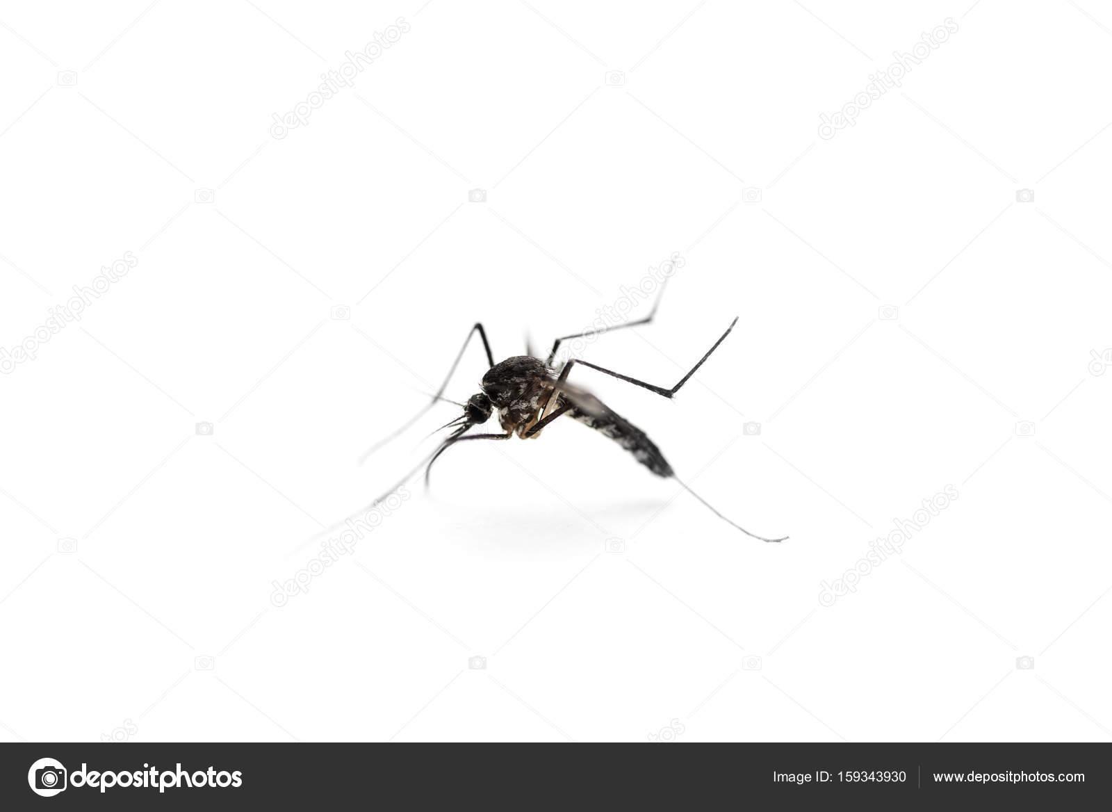 Zanzara Su Sfondo Bianco Macro Foto Stock Angyim 159343930