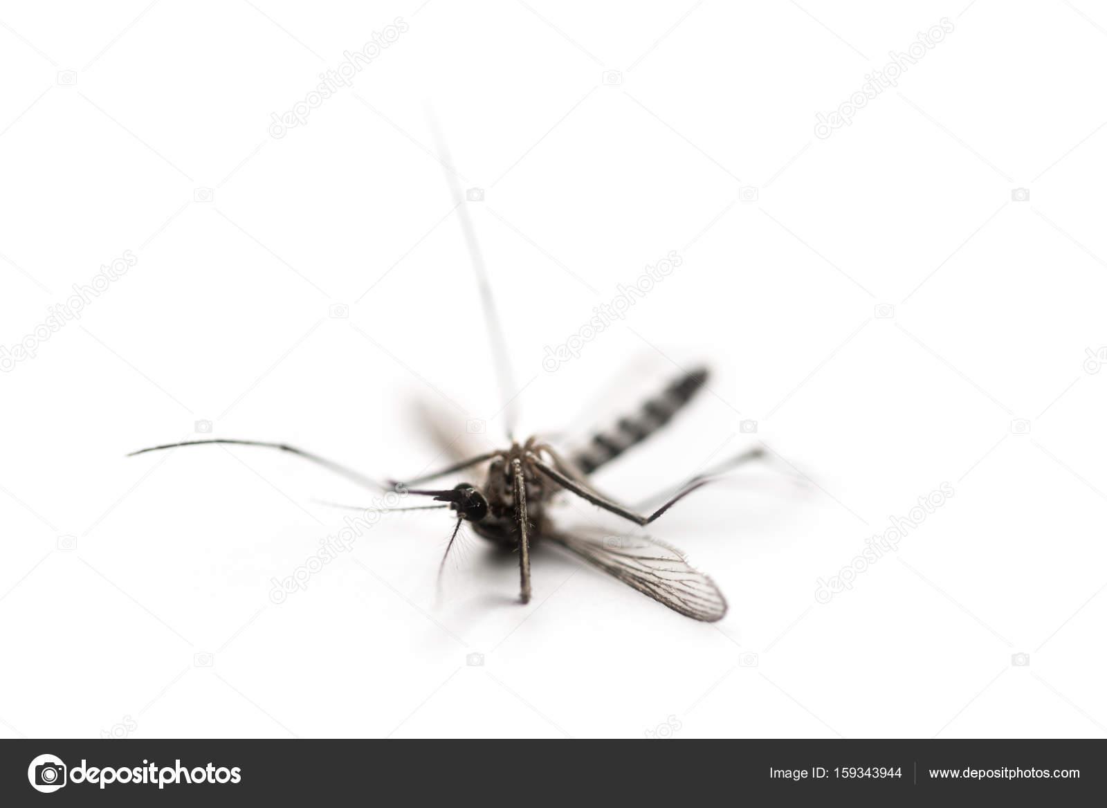 Zanzara Di Morte Su Sfondo Bianco Macro Foto Stock Angyim