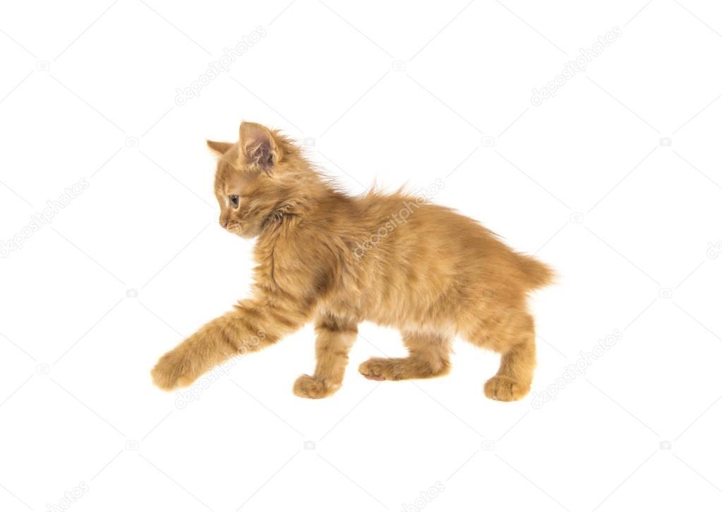 bobtail red cat ginger on white background