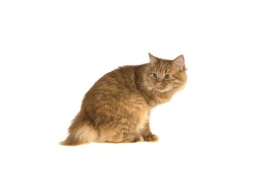 bobtail red cat ginger on isolated white background
