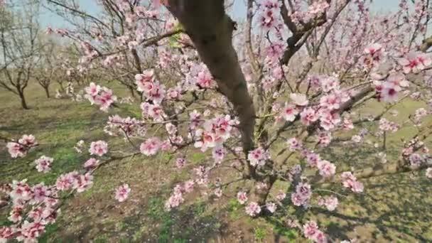 Detailní záběr kvetoucích mandlovníku růžové květy při silném větru během jara v Moldavsku