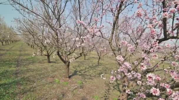 Ulička kvetoucích mandlovníků s růžovými květy při silném větru během jara v Moldavsku