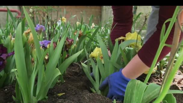 Female gardener hands planting blooming flowers in soil on flowerbed