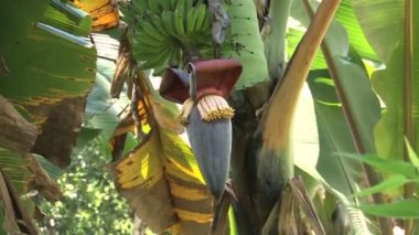 close up of Banana tree