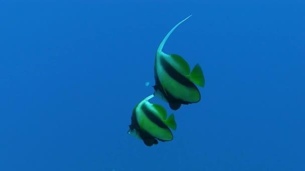 Butterfly ryby koupání v modré moře