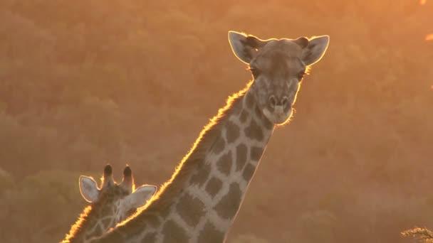 Two wild Giraffes