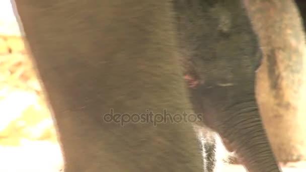 Baby elefánt Pinnawela árvaházban