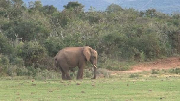 nagy szép elefánt