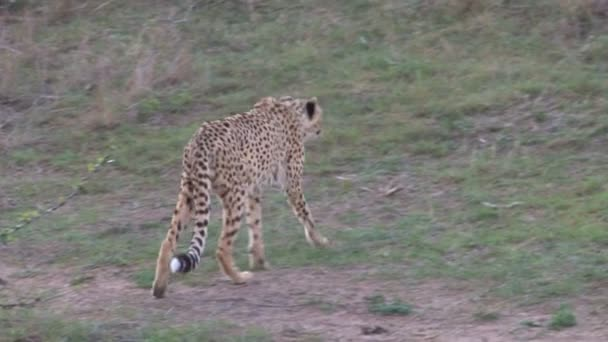 Beautiful african Leopard