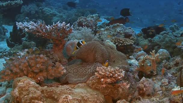 Anémona De Peces En Movimiento De La Vida De Arrecife