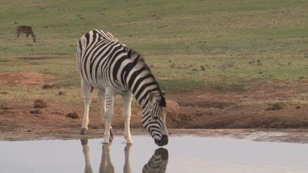 Zebra pastviny v zelené savany
