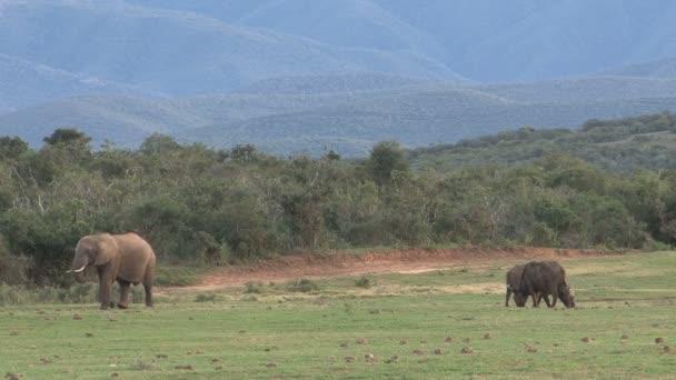 Dél-afrikai elefánt
