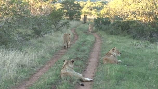 vadon élő oroszlánok csoportja