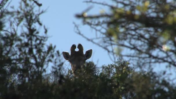 Aranyos vad zsiráf