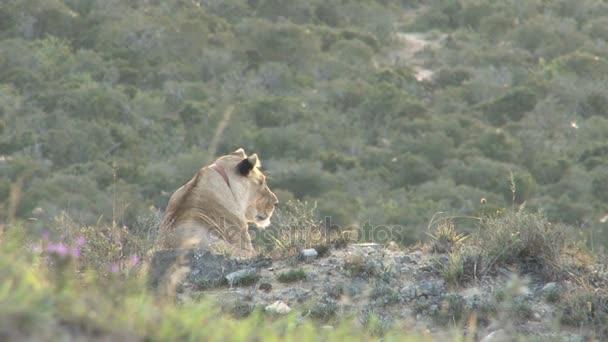 Krásný divoký lev