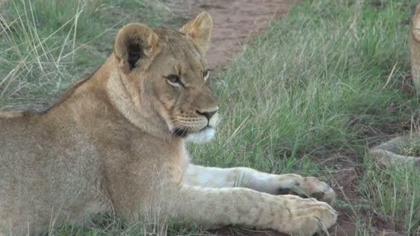 Úžasné divoké lvy