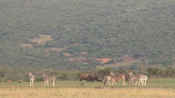 zebrák, legelő, zöld szavanna