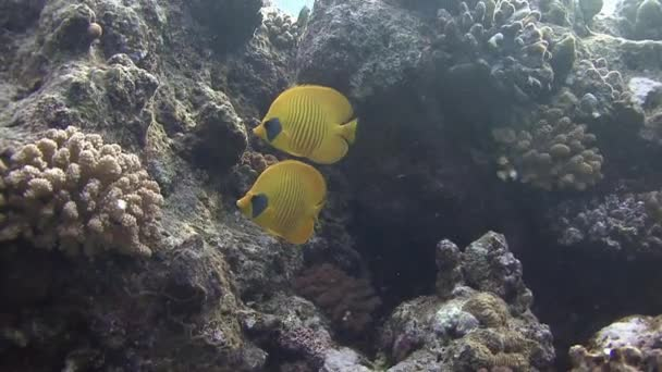Butterfly fishes swimming near coral reef