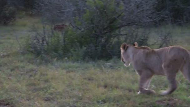 Beautiful wild Lion