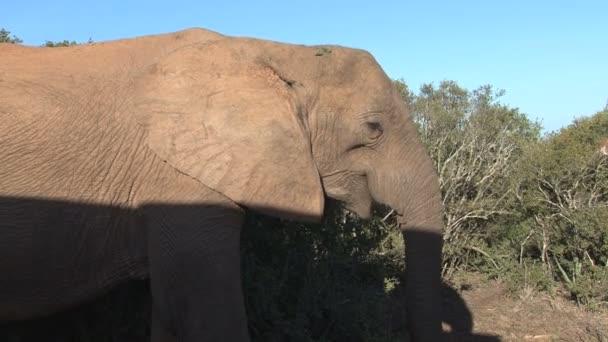 velký krásný slon
