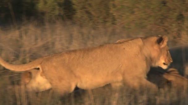 Lions pride ležící v savannah