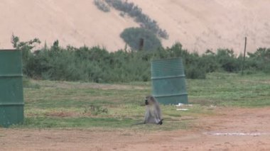 South Africa Monkey