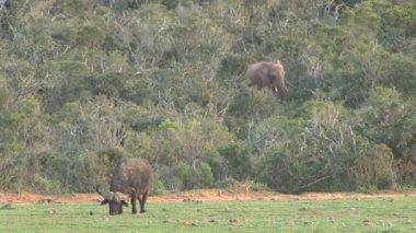 Buffalos in South Africa