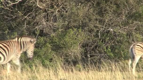 zebre che pascono nella savana verde