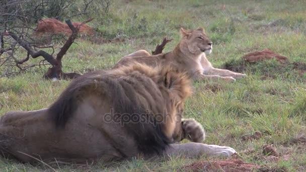 gruppo di leoni selvaggi