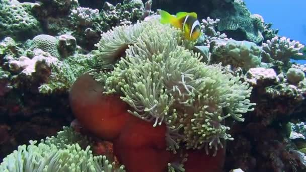 bright Anemone fishes hiding in coral