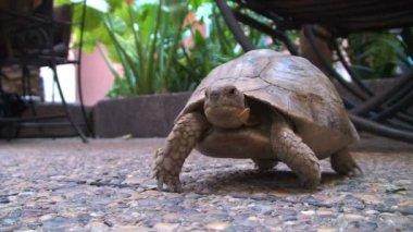 Wild turtle under table
