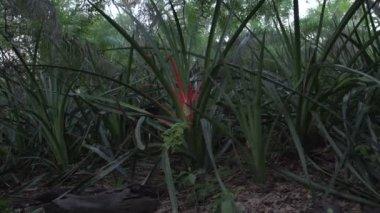 Pantanal, red plant in wetlands.