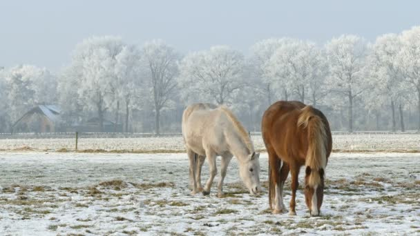 two horses grazing at winter time