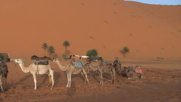 Camels in Sahara, Morocco