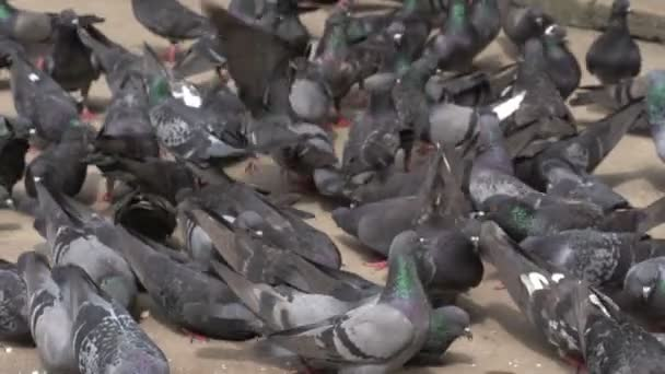 Yangon, pigeons on street